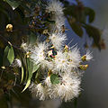 Gum and bee (23121639319).jpg