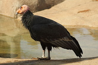 California condor - At San Diego Zoo, USA