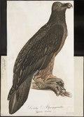 Gypaëtus barbatus - 1800-1812 - Print - Iconographia Zoologica - Special Collections University of Amsterdam - UBA01 IZ18100025.tif