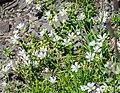 Gypsophila repens at Col de Tavaneuse (1).jpg