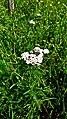 Hässeler Weiher von Neuenhaßlau - Achillea millefolium.jpg