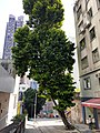 HK 上環 Sheung Wan U Lam Terrace Caine Lane green leaves Thursday morning October 2019 SS2 06.jpg