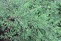 HK CWB 高士威道 Causeway Bay Road 維多利亞公園 Victoria Park green plant Sept 2017 IX1 地锦草 Humifuse Euphorbia Herb 02.jpg