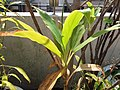 HK Mid-levels High Street clubhouse green leaves plant February 2019 SSG 61.jpg