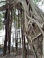 HK SW 上環 Sheung Wan卜公花園 Blake Garden 老榕樹 Chinese banyan tree 氣根 root n trunk February 2020 SS2 02.jpg
