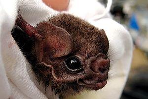 Hairy-legged vampire bat - Image: Hairy legged vampire bat, Diphylla ecaudata (closeup)