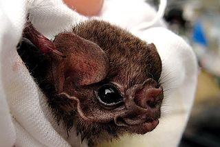 Hairy-legged vampire bat A species of mammals belonging to the New World leaf-nosed bat family