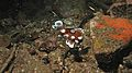 Harlequin Sweetlips (Plectorhinchus chaetodonoides) juvenile (6064329657).jpg