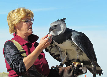 A Harpy Eagle in falconry.