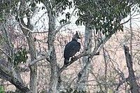 Harpy Eagle (7989221385).jpg