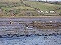 Harvesting oysters, Teign estuary - geograph.org.uk - 1191396.jpg