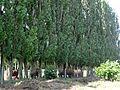 Hary (Aisne) vaches sous les arbres 02.JPG