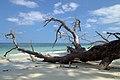 Havelock Island, Tropical beach and tree, Andaman Islands.jpg