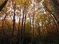Hayas en otoño - panoramio.jpg