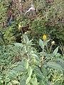 Helianthus tuberosus L. (AM AK295329-2).jpg
