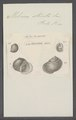 Helicina striata - - Print - Iconographia Zoologica - Special Collections University of Amsterdam - UBAINV0274 083 01 0004.tif