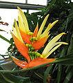 Heliconia aurantiaca 09.jpg