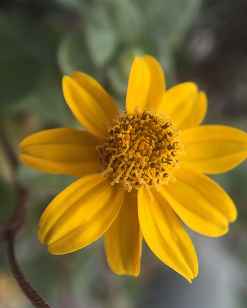 Archivo:Heliopsis longipes flor.jpg