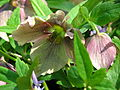 Helleborus orientalis cv. 01.JPG