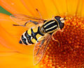 Helophilus trivittatus 8329.jpg