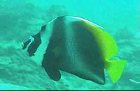 Heniochus singularius 2000 Thailand
