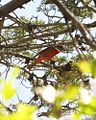 Hepatic Tanager (14081225776).jpg