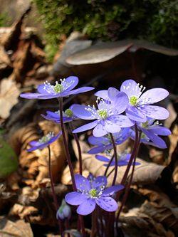 Hepatica nobilis flowers.JPG