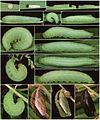 Hermeuptychia hermybius life history.jpg