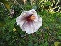 Hibiscus rosa sinensis hybrid-32-hanuman temple-muluvi-yercaud-salem-India.jpg
