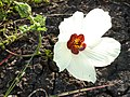 Hibiscus trionum, blom, b, Springbokvlakte.jpg