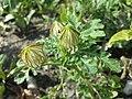 Hibiscus trionum sl79.jpg
