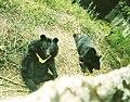 Himalayanblackbear.jpg