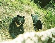 Aziatische zwarte beer (Ursus thibetanus)