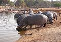 Hippopotamus-Safari2011RG0097.jpg