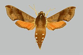 Hippotion brennus BMNHE274922 female up.jpg
