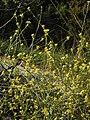 Hirschfeldia incana RF.jpg
