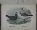 History of the birds of NZ 1st ed p304-2.jpg