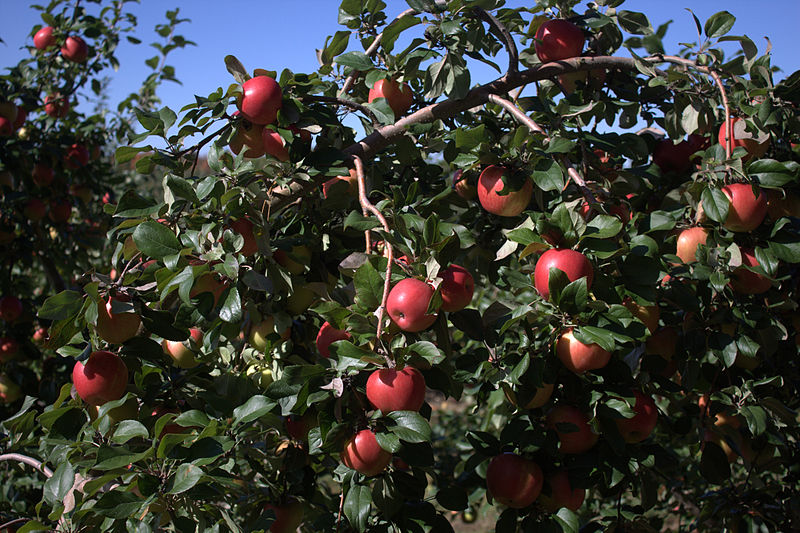 File:Honeycrisp apple tree.jpg