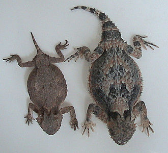 Horned lizard - Comparison of P. modestum and P. platyrhinos