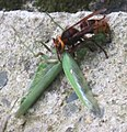 Hornet eating mantis-7.jpg