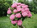 Hortenzie stromek květy.JPG