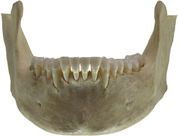 Human jaw bone. Left view.