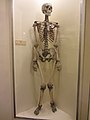 Human skeleton -Booth Museum, Brighton and Hove, East Sussex, England-20Oct2011.jpg