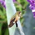Hummingbird (5054187698).jpg