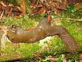 Hunting Orange bellied Squirrel IMG 9390 02.jpg