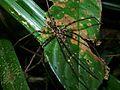 Huntman Spider (Sparassidae) (8405141421).jpg