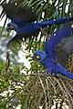 Hyacinth Macaws (Anodorhynchus hyacinthinus) (28857143666).jpg