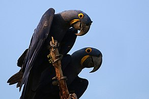 hyacinth macaw wikipedia