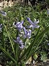 Hyacinthus orientalis.JPG