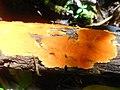 Hydnophlebia chrysorhiza 92787547.jpg
